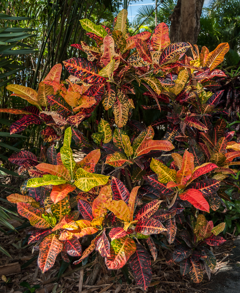 Mike's crotons-11.jpg