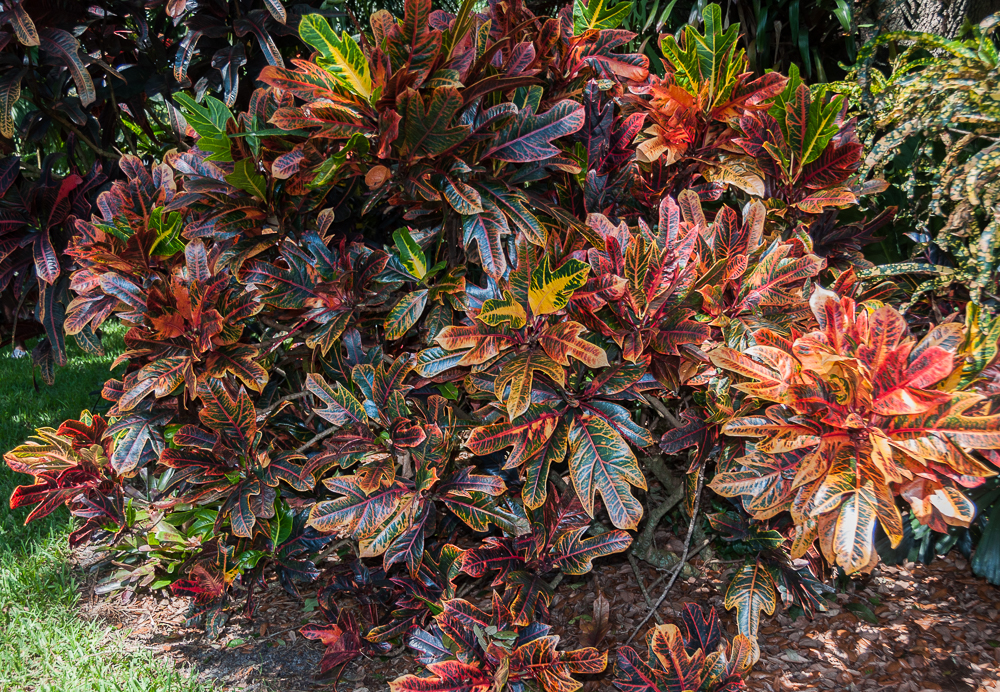 Mike's crotons-18.jpg