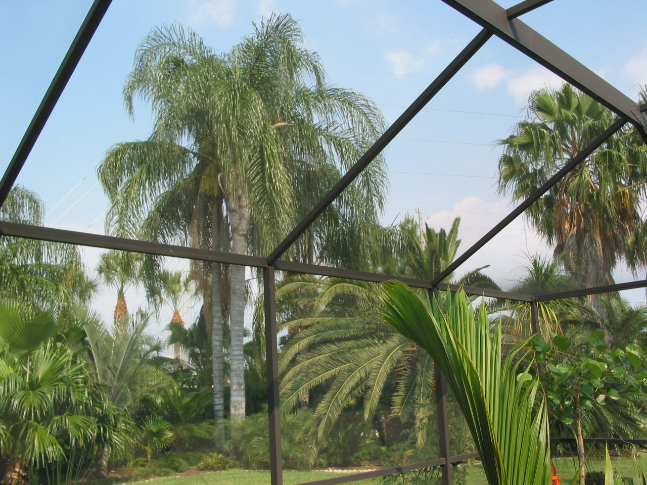 Queen palms from pool.JPG
