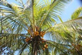 palmaceae