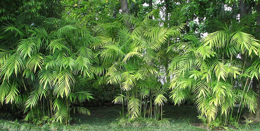 Chamaedorea Seifrizii Palms For California