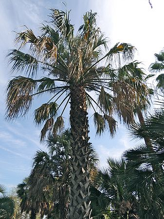 Sabal Uresana Palms For California