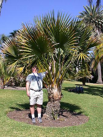 Sabal Minor Palms For California