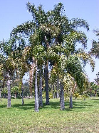 Syagrus Romanzoffiana Palms For California