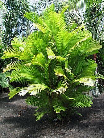 Pinanga Coronata Palms For California