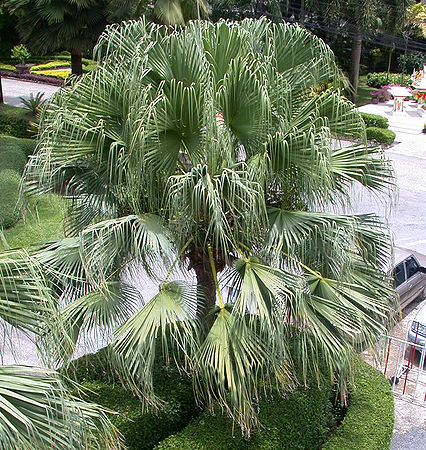 chinese fan palm fruit - photo #44