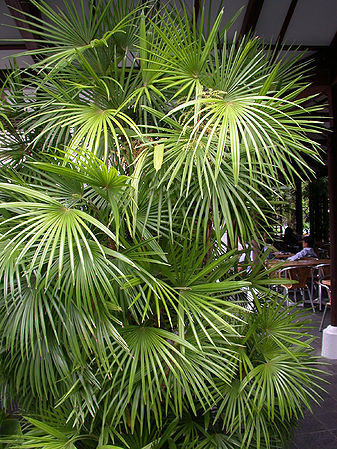 Rhapis Multifida Palms For California