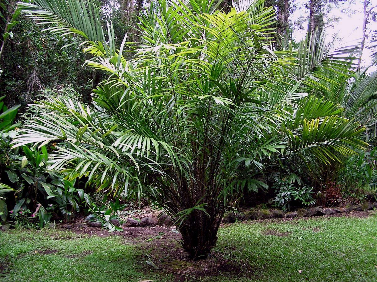 Фото растения салака 5