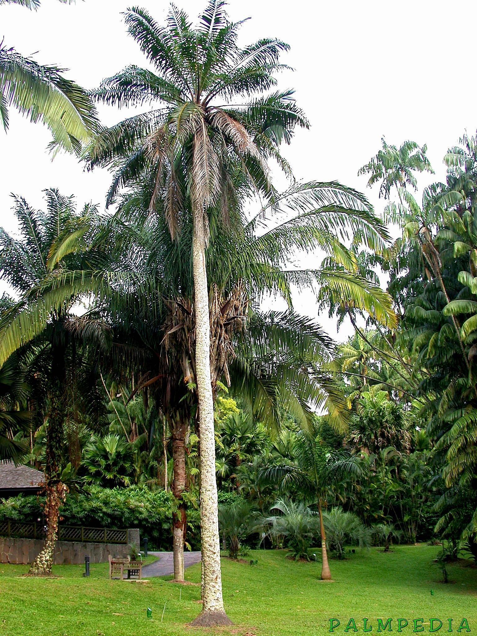 encoding rip from elaeis guaneensis jacq Fr elaeis guineensis, mésocarpe de palmier, triacylglycérols, acides gras, maturation en key words: oil palm, elaeis guineensis jacq, rflp, linkage fr les phénoliques hydrosolubles d'huile de palme (elaeis guineensis) possèdent de significatives propriétés antioxydantes et bénéfiques pour la santé.