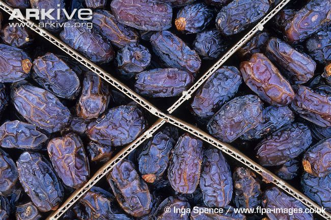 Dates-dried-crop-of-harvested-date-palm-fruit.jpg