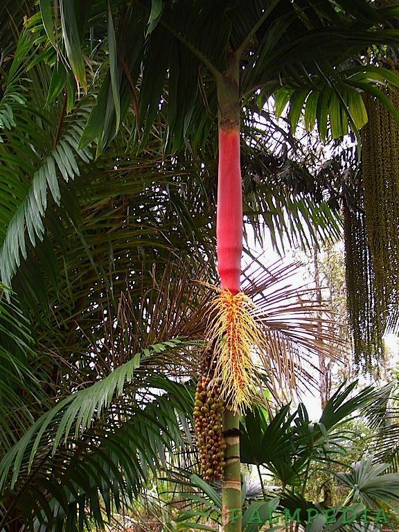 Garden Centre: Red Latan Palm (Latania Lontaroides)