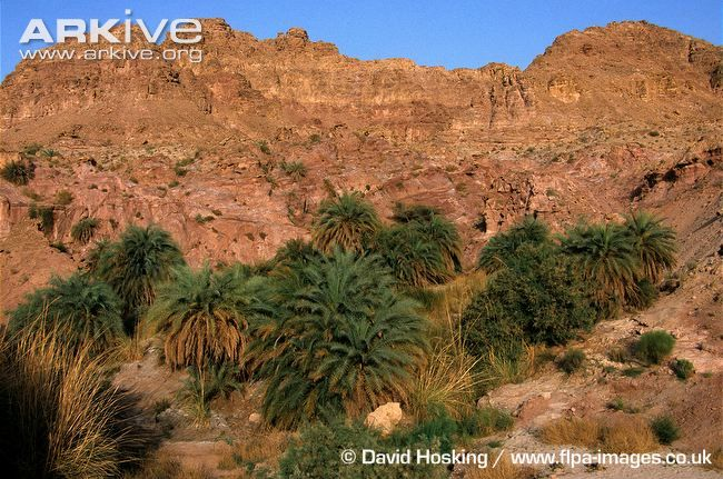 Date-palms-growing-in-dry-wadi-habitat.jpg