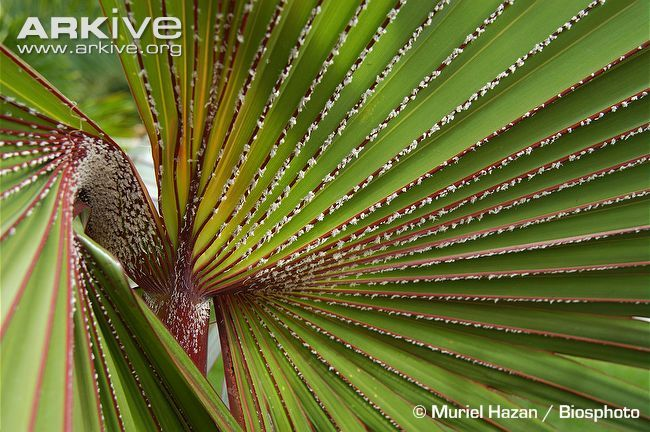 Red-latan-palm-frond.jpg