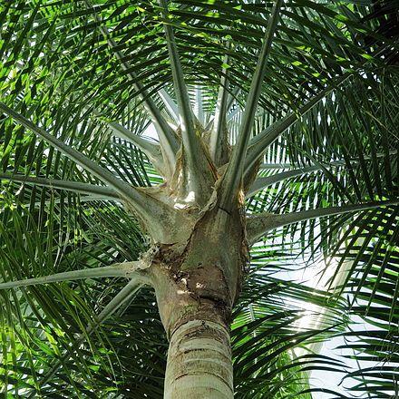 ravenea rivularis palmpedia palm grower 39 s guide. Black Bedroom Furniture Sets. Home Design Ideas