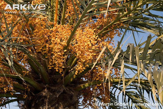 Ripe-date-palm-fruit.jpg