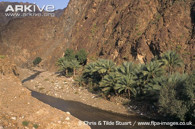 Date-palms-growing-beside-river-in-gorge.jpg