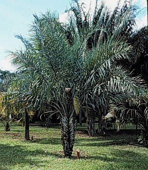 Syagrus coronata - Palmpedia - Palm Grower's Guide