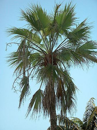 Brahea Brandegeei Palmpedia Palm Grower 39 S Guide