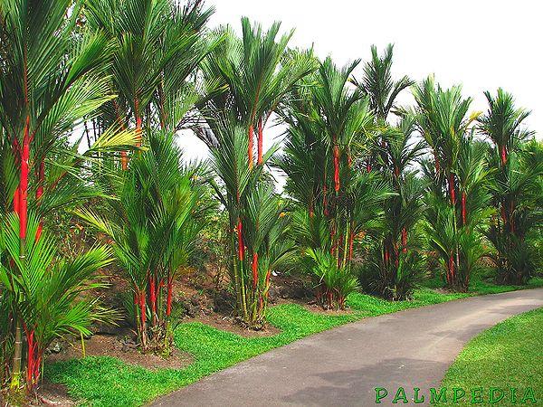 Cyrtostachys Renda Palmpedia Palm Grower S Guide