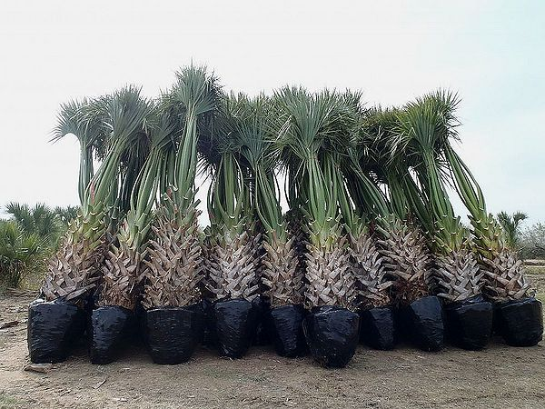 sabal mexicana palmpedia palm grower s guide