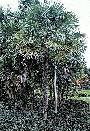 Coccothrinax Miraguama Palmpedia Palm Grower S Guide
