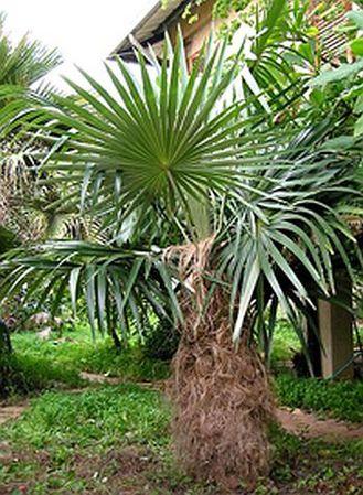 Coccothrinax Crinita Palmpedia Palm Grower S Guide