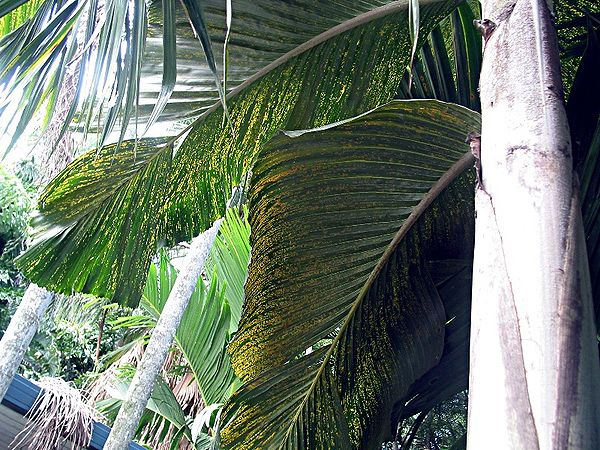 Hydriastele Beguinii Palmpedia Palm Grower S Guide