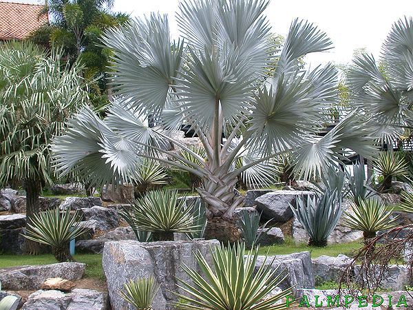http://www.palmpedia.net/wiki/images/thumb/5/56/BISMARCKIA_SILVER_NN_1.jpg/600px-BISMARCKIA_SILVER_NN_1.jpg