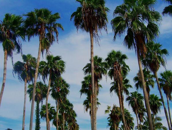 washingtonia robusta palmpedia palm grower 39 s guide. Black Bedroom Furniture Sets. Home Design Ideas