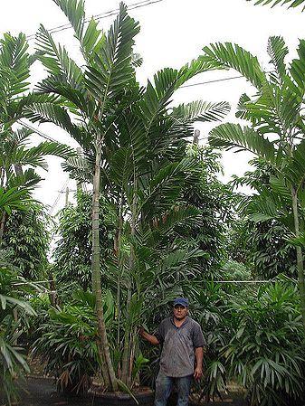 Ptychosperma Schefferi Palmpedia Palm Grower S Guide
