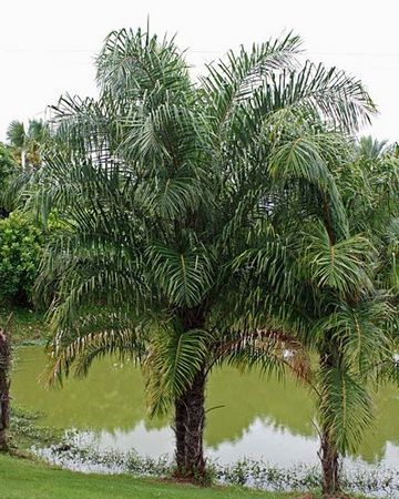 Raphia Hookeri Palmpedia Palm Grower S Guide