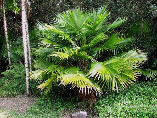 Saribus Rotundifolia Palmpedia Palm Grower S Guide