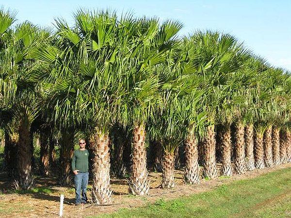 Livistona nitida palmpedia palm grower 39 s guide for Fish branch tree farm