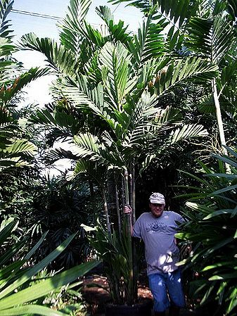 Ptychosperma Schefferi Palmpedia Palm Grower S Guide