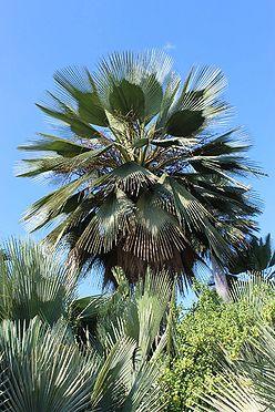 Copernicia gigas - Palmpedia - Palm Grower's Guide