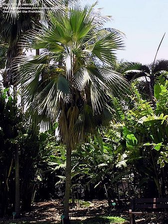 Pritchardia Hillebrandii Palmpedia Palm Grower S Guide