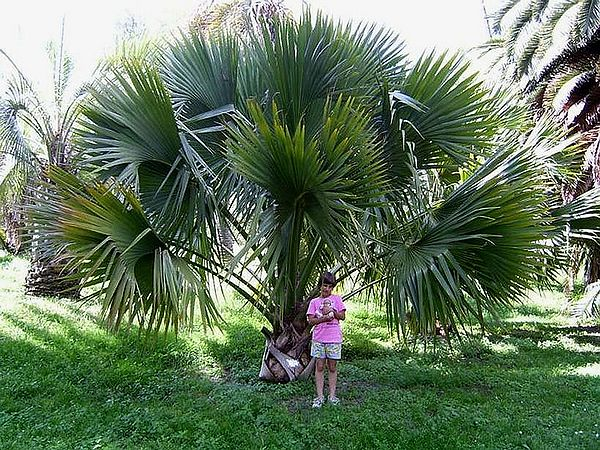 Palm trees, Rio grande and Palms on Pinterest