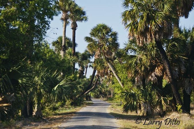sabal palmetto palmpedia palm grower s guide