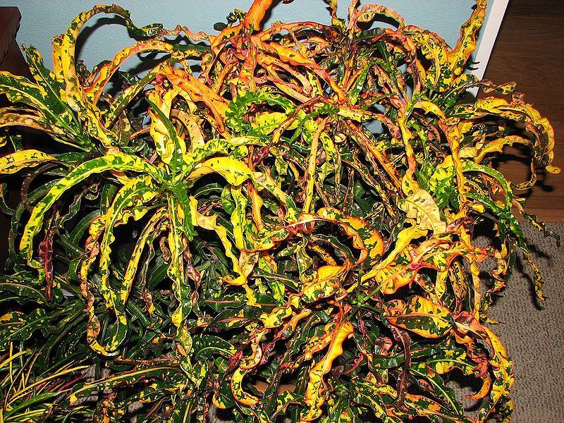 800px-Dreadlocks-Peyton Codiaeum Plant House on croton plant, codiaeum revolutions plant, codiaeum variegatum plant,
