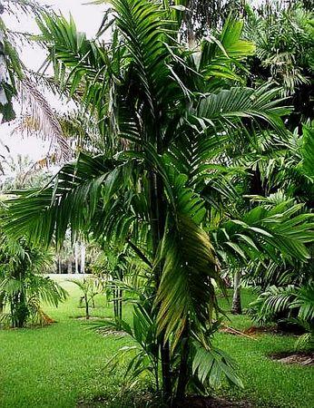 Details about  /Areca trianda Wild Areca palm 10 seeds