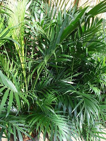 Chamaedorea Cataractarum Palmpedia Palm Grower S Guide