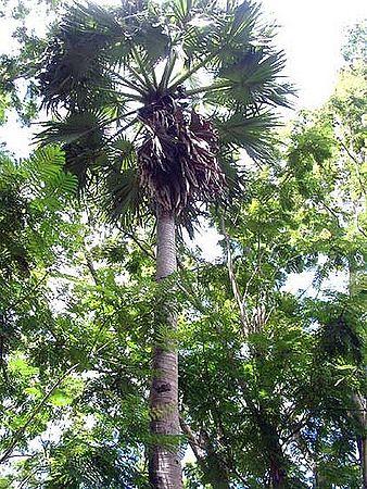 Borassus Flabellifer Palmpedia Palm Grower S Guide