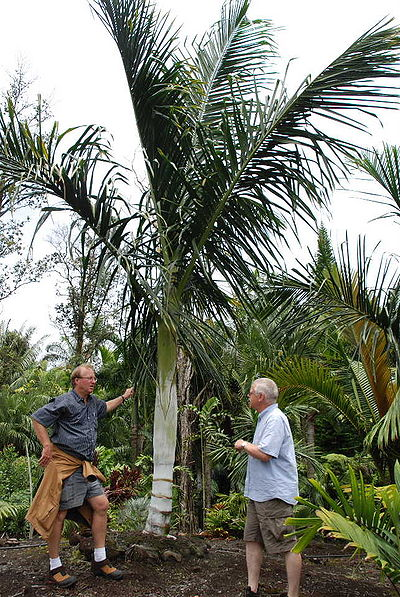 Dypsis Malcomberi Palmpedia Palm Grower S Guide