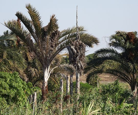 Palm Grower's Guide