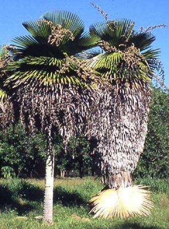 Copernicia Macroglossa Palmpedia Palm Grower S Guide
