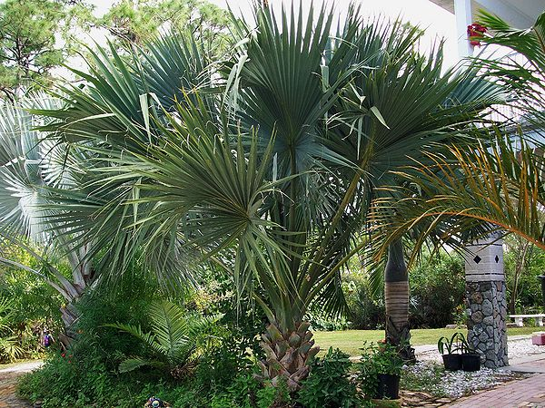 Does anyone know this Sabal ? - COLD HARDY PALMS - PalmTalk