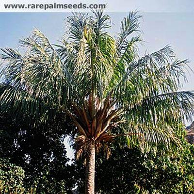 Photo Rare Palm Seeds
