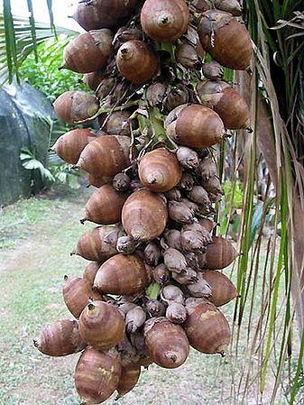 Attalea Speciosa Palmpedia Palm Grower S Guide Attalea speciosa — babasú orbignya phalerata … wikipedia español. attalea speciosa palmpedia palm