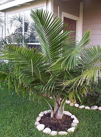 ravenea rivularis palmpedia palm grower s guide rh palmpedia net