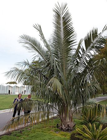 20 Parajubea Torallyi var Microcarpa Palm Tree Seeds Cycad